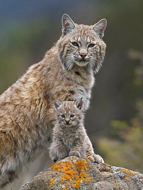 Bobcat (Lynx rufus) mother and kitten, North America  -  Tim Fitzharris