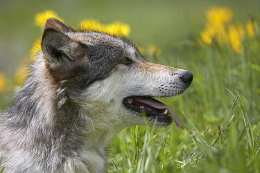 Gray Wolf (Canis lupus) profile, North America  -  Tim Fitzharris