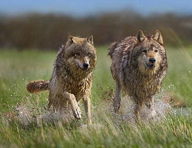 Gray Wolf (Canis lupus) pair running through water, North America  -  Tim Fitzharris