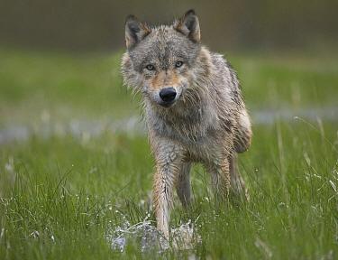Gray Wolf (Canis lupus) walking through water, North America  -  Tim Fitzharris
