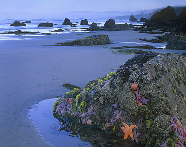 Ochre Sea Star (Pisaster ochraceus) group attached to rock at low tide, Miwok Beach, Sonoma, California  -  Tim Fitzharris