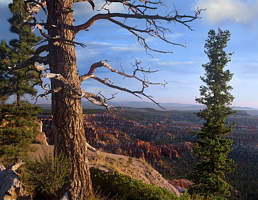 Conifers overlooking Bryce Canyon National Park, Utah  -  Tim Fitzharris