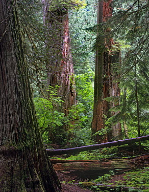 Western Red Cedar (Thuja plicata) forest interior, Grove of the Patriarchs, Mount Rainier National Park, Washington  -  Tim Fitzharris