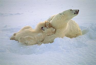Polar Bear (Ursus maritimus) cub with paw over eyes, nestled in mothers' chest, Wapusk National Park, Manitoba, Canada  -  Thomas Mangelsen