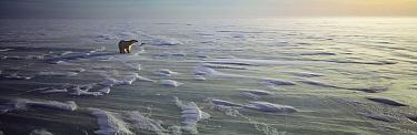 Polar Bear (Ursus maritimus) and Arctic Fox (Alopex lagopus) on ice field, Hudson Bay, Churchill, Manitoba, Canada  -  Thomas Mangelsen