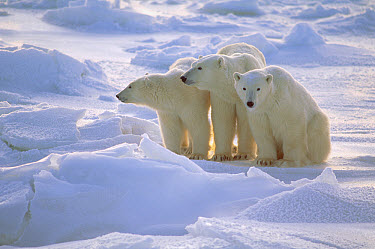 Polar Bear (Ursus maritimus) mother and two yearling cubs sitting on ice field, Churchill, Manitoba, Canada  -  Thomas Mangelsen