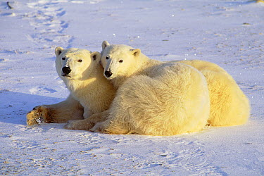 Polar Bear (Ursus maritimus) mother and cub resting on ice field, Churchill, Manitoba, Canada  -  Thomas Mangelsen
