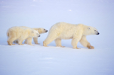 Polar Bear (Ursus maritimus) mother and two cubs crossing ice field, Churchill, Manitoba, Canada  -  Thomas Mangelsen