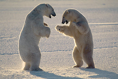 Polar Bear (Ursus maritimus) pair of males fighting, Churchill, Manitoba, Canada  -  Thomas Mangelsen