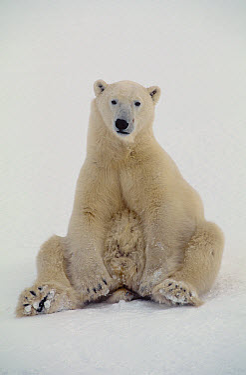 Polar Bear (Ursus maritimus) sitting up, Churchill, Manitoba, Canada  -  Thomas Mangelsen
