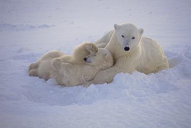 Polar Bear (Ursus maritimus) mother resting with cub in snow, Churchill, Manitoba, Canada  -  Thomas Mangelsen