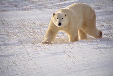 Polar Bear (Ursus maritimus) adult walking across snow, Churchill, Manitoba, Canada  -  Thomas Mangelsen