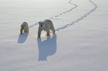Polar Bear (Ursus maritimus) mother and cub crossing ice field, Churchill, Manitoba, Canada  -  Thomas Mangelsen