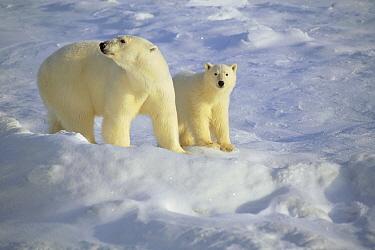 Polar Bear (Ursus maritimus) mother and cub standing on ice field, Churchill, Manitoba, Canada  -  Thomas Mangelsen