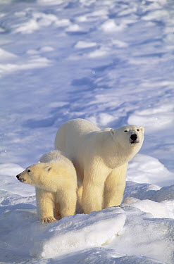 Polar Bear (Ursus maritimus) mother and cub, Churchill, Manitoba, Canada  -  Thomas Mangelsen