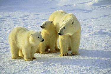 Polar Bear (Ursus maritimus) and cubs, near Churchill, Manitoba, Canada  -  Thomas Mangelsen