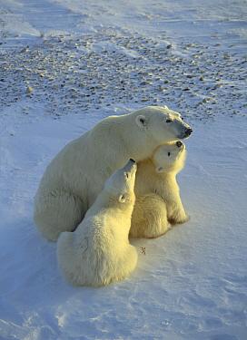 Polar Bear (Ursus maritimus) mother and two cubs, Churchill, Manitoba, Canada  -  Thomas Mangelsen