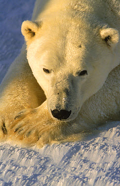 Polar Bear (Ursus maritimus) adult resting, Wapusk National Park, Churchill, Manitoba, Canada  -  Thomas Mangelsen
