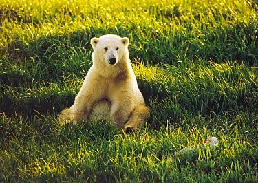 Polar Bear (Ursus maritimus) cub sitting among spring grasses, Churchill, Manitoba, Canada  -  Thomas Mangelsen