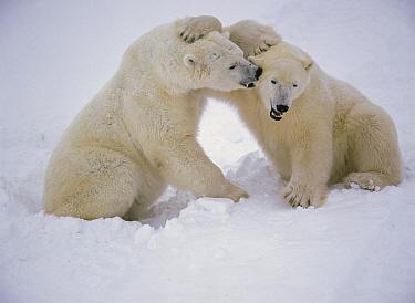 Polar Bear (Ursus maritimus) pair wrestling, Churchill, Manitoba, Canada  -  Thomas Mangelsen