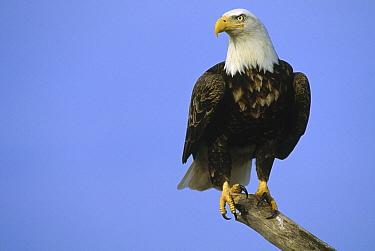 Bald Eagle (Haliaeetus leucocephalus) adult perching on snag, North America  -  Thomas Mangelsen