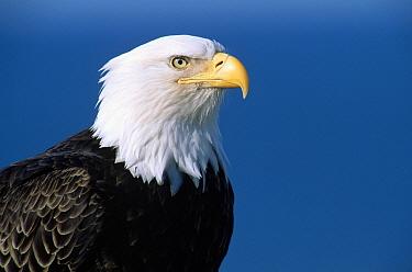 Bald Eagle (Haliaeetus leucocephalus) portrait, southeast Alaska  -  Thomas Mangelsen