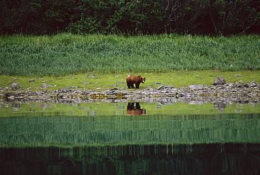 Grizzly Bear (Ursus arctos horribilis) at riverbank, Alaska  -  Thomas Mangelsen