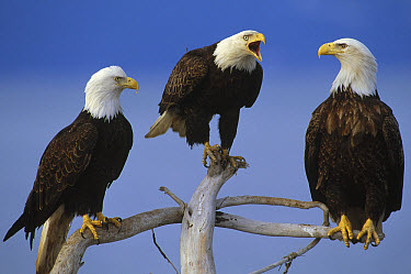 Bald Eagle (Haliaeetus leucocephalus) adults on snags, North America  -  Thomas Mangelsen