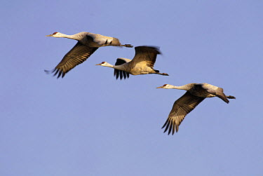 Sandhill Crane (Grus canadensis) trio flying, North America  -  Thomas Mangelsen