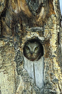 Northern Saw-whet Owl (Aegolius acadicus) in nest cavity in tree, Wyoming  -  Thomas Mangelsen