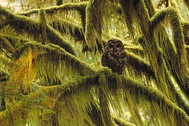 Spotted Owl (Strix occidentalis) in old growth forest, southwest Oregon  -  Thomas Mangelsen