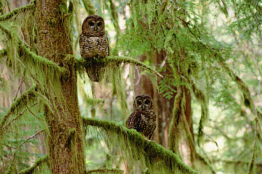 Northern Spotted Owl (Strix occidentalis caurina) pair perched temperate rainforest tree, southwest Oregon  -  Thomas Mangelsen