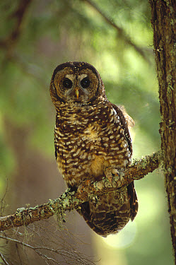 Northern Spotted Owl (Strix occidentalis caurina) perching in temperate rainforest tree, southwest Oregon  -  Thomas Mangelsen