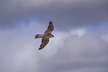 Peregrine Falcon (Falco peregrinus) flying, Wager Bay, Canada  -  Thomas Mangelsen