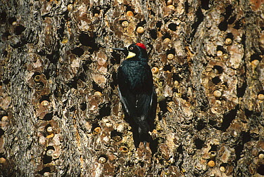 Acorn Woodpecker (Melanerpes formicivorus) female clinging to pine tree with acorn ladder, Cuyamaca State Park, California  -  Thomas Mangelsen