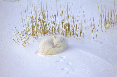 Arctic Fox (Alopex lagopus) curled up resting in snow, Hudson Bay, near Churchill, Manitoba, Canada  -  Thomas Mangelsen