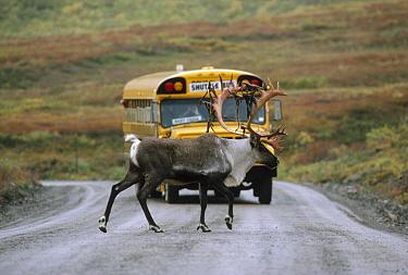 Caribou (Rangifer tarandus) crossing road in front of school bus, Denali National Park and Preserve, Alaska  -  Thomas Mangelsen