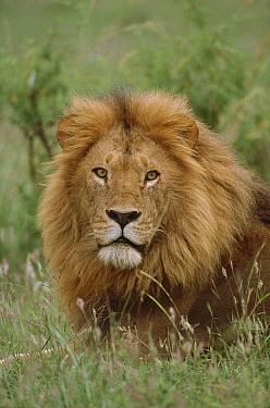African Lion (Panthera leo) male portrait, Masai Mara National Reserve, Kenya  -  Thomas Mangelsen