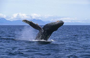 Humpback Whale (Megaptera novaeangliae) breaching, Frederick Sound, Alaska  -  Thomas Mangelsen