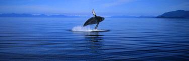 Humpback Whale (Megaptera novaeangliae) breaching, Southeast Alaska  -  Thomas Mangelsen