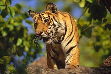 Bengal Tiger (Panthera tigris tigris) juvenile, Bandhavgarh National Park, Madya Pradesh, India  -  Thomas Mangelsen