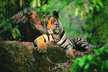 Bengal Tiger (Panthera tigris tigris) resting on log, Bandhavgarh National Park, Madhya Pradesh, India  -  Thomas Mangelsen