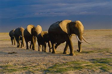 African Elephant (Loxodonta africana) herd walking in a line, Africa  -  Thomas Mangelsen