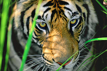 Bengal Tiger (Panthera tigris tigris) close up of eyes, India  -  Thomas Mangelsen