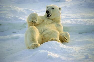 Polar Bear (Ursus maritimus) rolling in snow, Hudson Bay, Churchill, Manitoba, Canada  -  Thomas Mangelsen