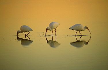 White Ibis (Eudocimus albus) trio feeding at sunset, Ding Darling National Wildlife Refuge, Sanibel Island, Florida  -  Thomas Mangelsen