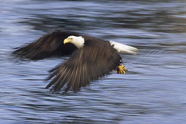 Bald Eagle (Haliaeetus leucocephalus) flying with captured fish in talons, Homer, Alaska  -  Thomas Mangelsen