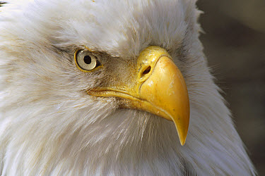Bald Eagle (Haliaeetus leucocephalus) portrait, Homer, Alaska  -  Thomas Mangelsen
