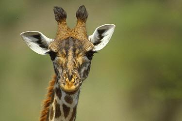 Giraffe (Giraffa sp) close up of head, Africa  -  Thomas Mangelsen