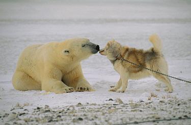 Polar Bear (Ursus maritimus) investigating chained sled dog, Churchill, Manitoba, Canada  -  Thomas Mangelsen